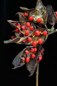 Rosary pea or jequirity bean